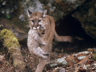 Mountain Lion, Female and Cub, USA Stampa fotografica di Mary Plage