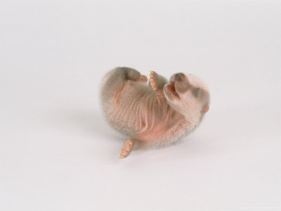 Badger, 4 Days Old, UK Photographic Print