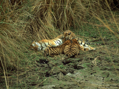 Tiger, Suckling Three Cubs, India Photographic Print
