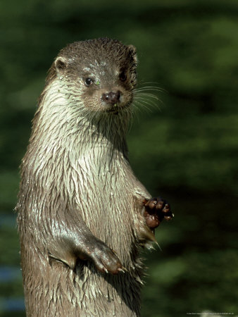 European Otter, Suffolk, UK Photographic Print