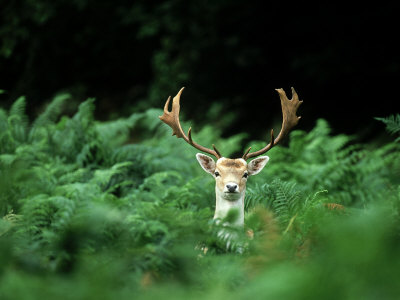 Fallow Deer, Buck, UK Photographic Print by David Tipling