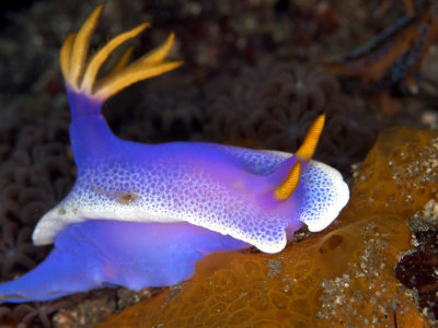 Hyspselodoris Bullockii, Indonesia Photographic Print by Mark Webster