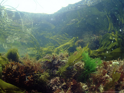 Sea Weeds in Rock Pool, UK Photographic Print by Mark Webster