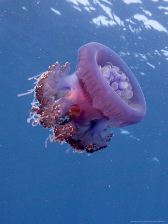 Jelly Fish, St. Johns Reef, Red Sea Fotografisk trykk