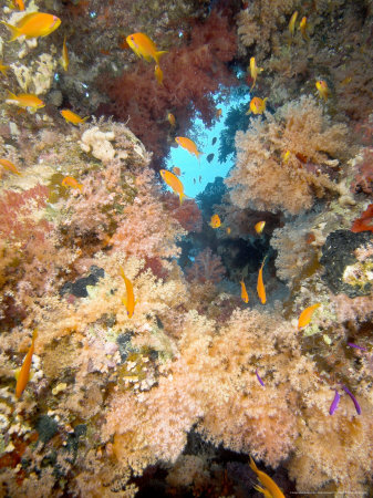 Soft Corals, St. Johns Reef, Red Sea Photographic Print by Mark Webster