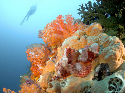 Bearded Scorpion Fish on Coral, Indonesia Photographic Print by Mark Webster