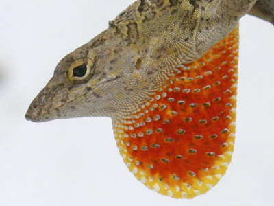 lee-wilfredo-a-cuban-anole-lizard-displays-his-dewlap-a-colorful-flap-of-skin-under-his-neck.jpg
