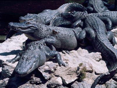 Alligators Bask in the Sun in Louisiana's Bayou Country Photographic Print