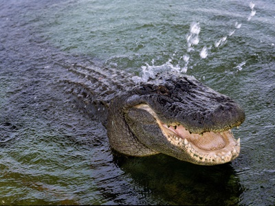 An Alligator Leaps from the Water in the Louisiana Bayou Photographic Print