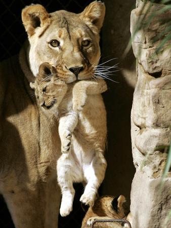 African Lioness Mpenzi Carries One of Her Lion Cubs Stampa fotografica