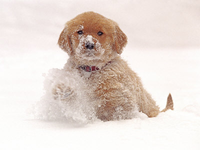 golden retriever pup. Golden Retriever Pup in Snow