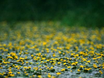 Small Flowering Lilipads on Tisza Lake (Tisza To), Tiszafured, Hungary Photographic Print by David Greedy