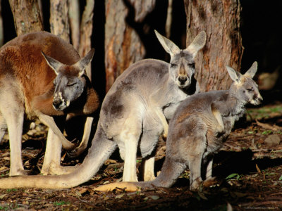 Male, Female and Joey Red Kangaroos (Macropus Rufus), Australia Photographic Print