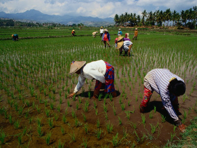Farmers Planting Rice in a Paddy Near Tanjung, Lombok, West Nusa Tenggara, Indonesia Photographic Print by Richard I'Anson
