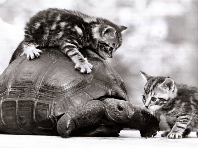Funny picture of Kittens playing with a tortoise, black and white photo