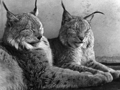 """Laying in Noonday Sun"" Beautiful Pair of Northern Lynx Effected by Sudden Warm Spell Photographic Print"