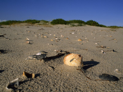 Seashells Litter the Beach at Ocracoke Seashore Photographic Print by Brian Gordon Green
