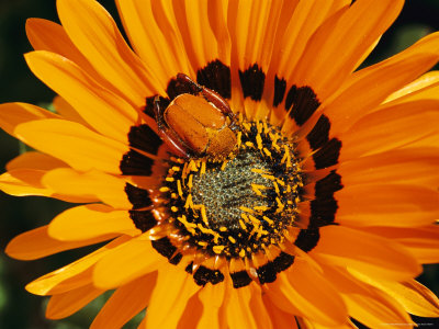 South African Monkey Beetle Burrows Deep Into a Gazania Flower Photographic Print by Jonathan Blair