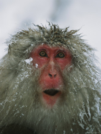 Japanese Macaque, or Snow Monkey, with Ice Tipped Fur Photographic Print by Tim Laman