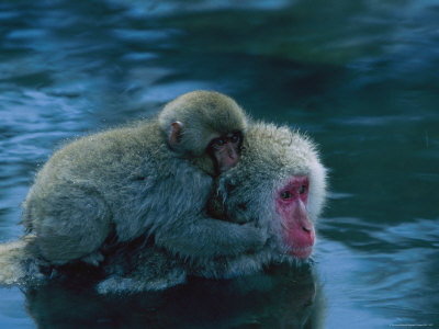 Japanese Macaque, or Snow Monkey, with a Baby in a Hot Spring Photographic Print by Tim Laman