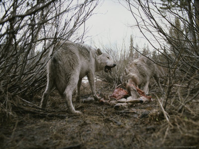 Couple of Gray Wolves, Canis Lupus, Feast on a Mule Deer Carcass Lámina fotográfica