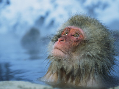 Japanese Macaque, or Snow Monkey, Soaking in a Hot Spring Photographic Print by Tim Laman