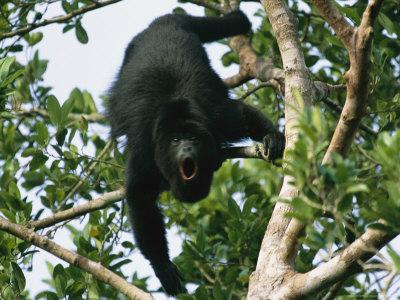 Black Howler Monkey Calls in a Tree Photographic Print by Stephen Alvarez