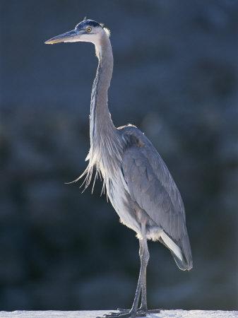 Portrait of a Great Blue Heron Fotografisk tryk af Rich Reid