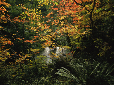 Autumn-Hued Vine Maples Along the Sol Duc River Photographic Print by Melissa Farlow