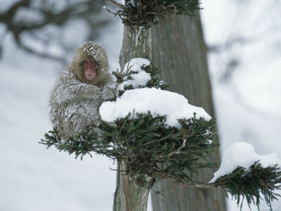 Snow-Covered Japanese Macaque Perched in a Tree Photographic Print by Tim Laman