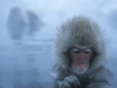 Young Japanese Macaque Soaking in a Steaming Hot Spring Photographic Print by Tim Laman