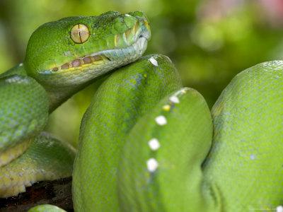 Green Tree Python, Merauke Photographic Print by Johnny Haglund
