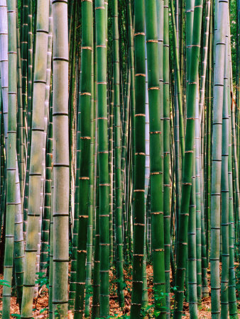 Grove of Bamboo, Sagano District Photographic Print by Frank Carter