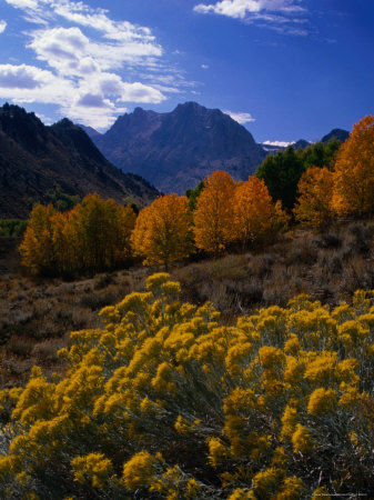 Rabbit Brush and Aspen Stands in Autumn, June Lake Loop, Eastern Sierra Nevada Photographic Print by Nicholas Pavloff