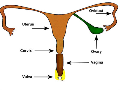 Female Reproductive System Uterus Photographic Print