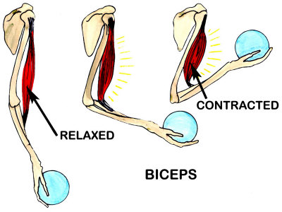 muscles of arm. Biceps Muscle Movement Arm
