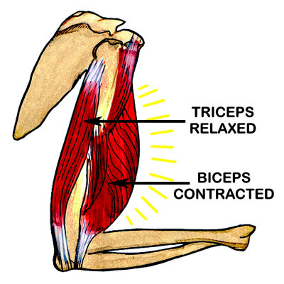 Biceps Contracted Triceps Relaxed Impress  227 o fotogr  225 ficaTriceps And Biceps Diagram