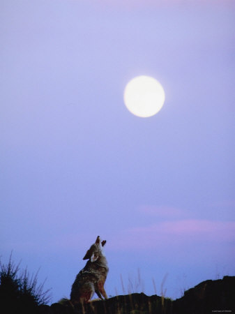 Wild Coyote Sitting in Nature and Howling at Full Moon Photographic Print