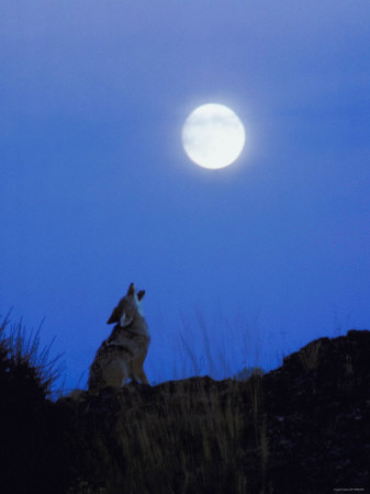 Coyote in Nature Howling at Full Moon Photographic Print