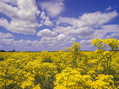 Field of Golden Ragwort and Clouds Photographic Print