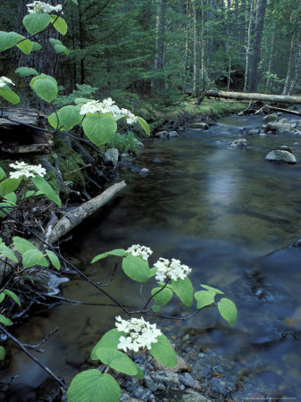Stanley Brook, Hobblebush, Maine, USA Photographic Print by Jerry & Marcy Monkman