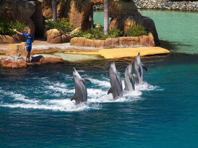 Dolphins, Sea World, Gold Coast, Queensland, Australia Photographic Print by David Wall