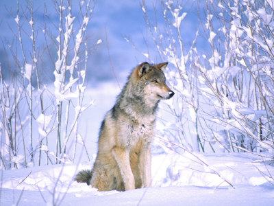 Timber Wolf Sitting in the Snow, Utah, USA Stampa fotografica di David Northcott