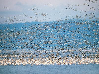 Snow Geese in Flight, Skagit Valley, Skagit Flats, Washington State, USA Stampa fotografica di Charles Sleicher