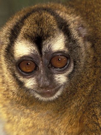 Owl Monkey, Panama Lámina fotográfica por Art Wolfe