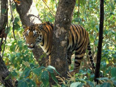 Tiger in Tree, India Lámina fotográfica por Art Wolfe