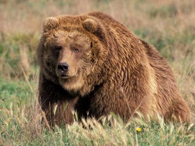 Grizzly or Brown Bear, Kodiak Island, Alaska, USA Photographic Print by Art Wolfe