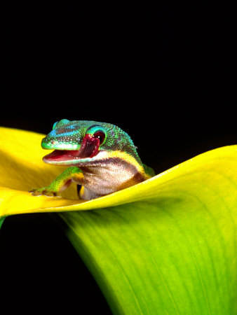 Lined Day Gecko, Native to Madagascar Photographic Print by David Northcott