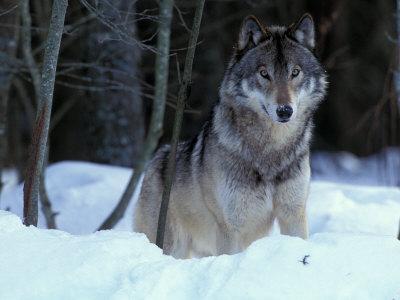 Grey Wolf, Canada Lámina fotográfica por Art Wolfe