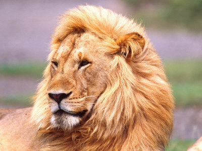 african lion. Male African Lion, Panthera